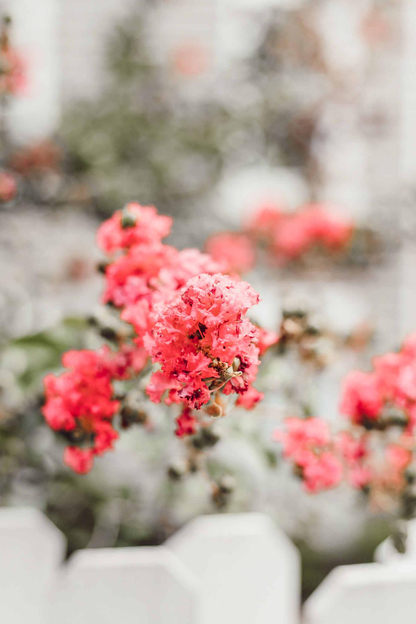 Crepe Myrtles in Charlotte, NC | Louella Reese