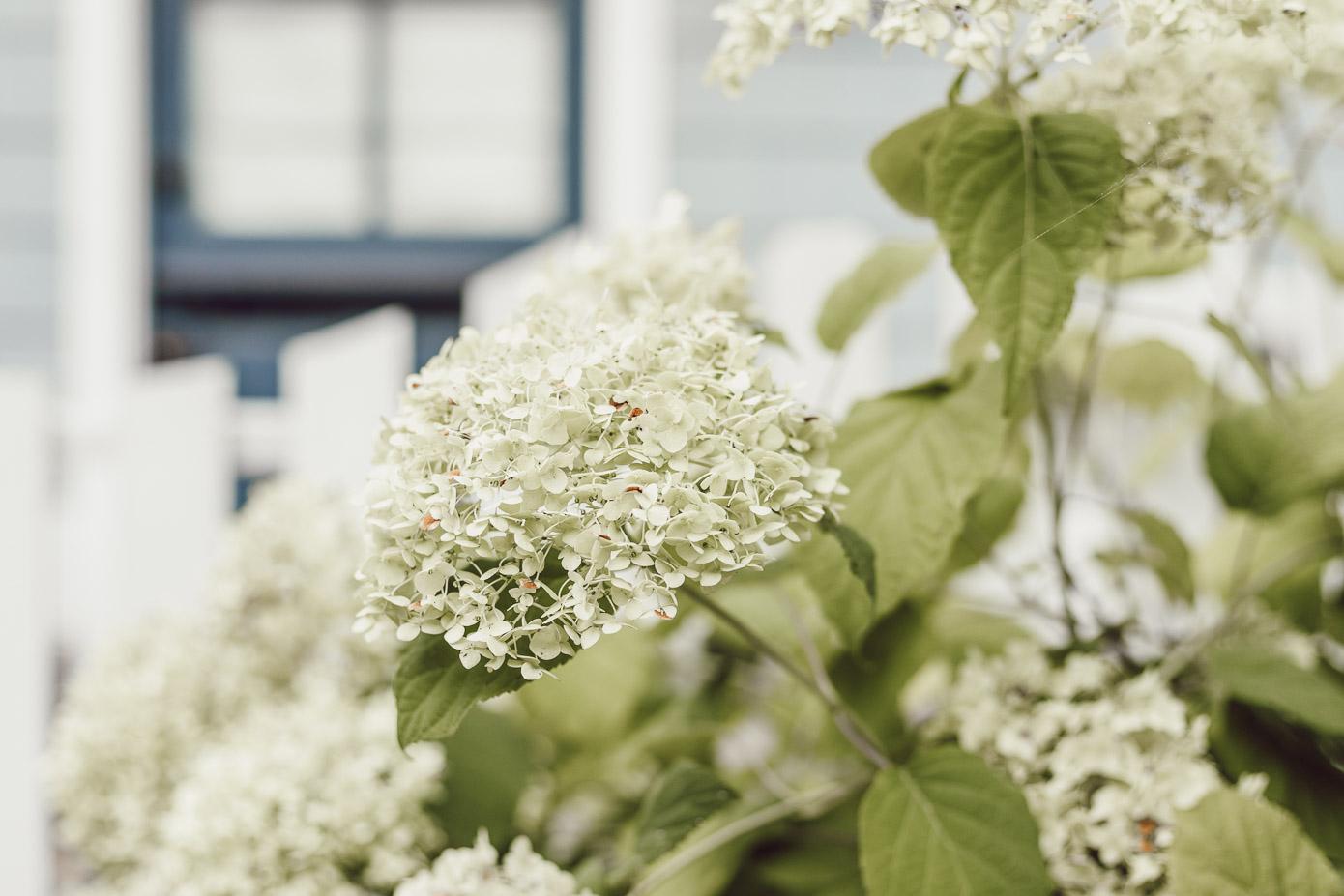 Hydrangeas in Charlotte, NC | Louella Reese