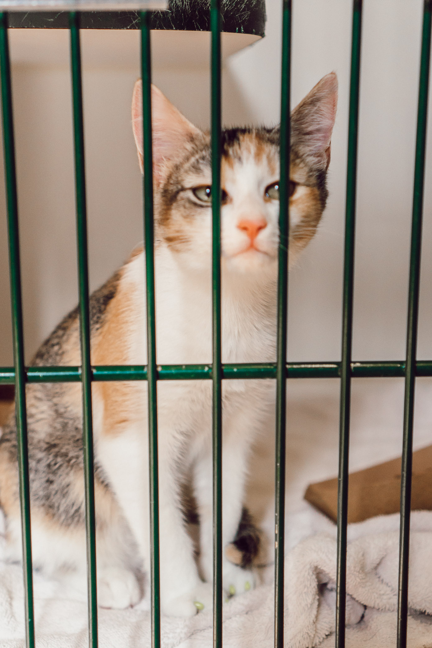 Kittens Available for Adoption in Charlotte NC | The Humane Society Charlotte featured on Louella Reese
